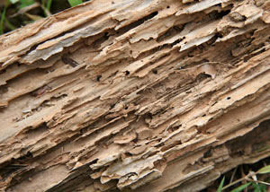 Termite-damaged wood showing rotting galleries outside of a Fort Stewart home
